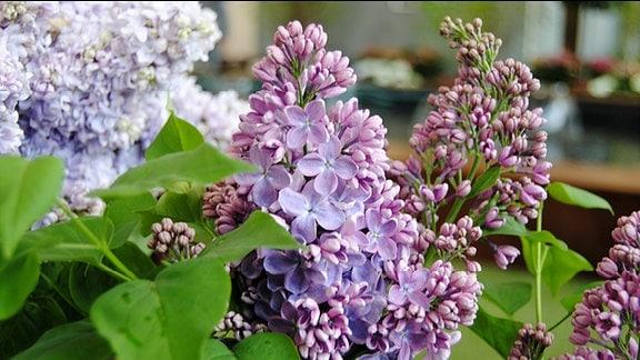 Lila blühende Flieder-Blütenrispe mit teils ungeöffneten Knospen