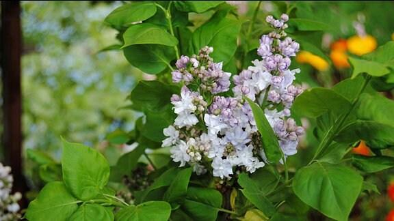 Weiß und lila blühende Flieder-Blütenrispe zwischen grünen Blättern