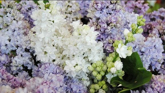 Gefüllte, weiß blühende Flieder-Blütenrispe in einem Strauß mit lila blühenden Flieder-Rispen