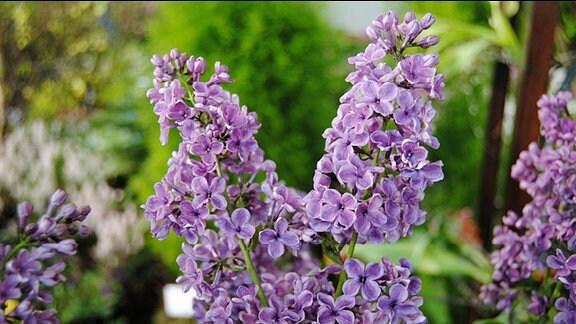 Violett blühende Blütenrispen an einem Flieder-Strauch