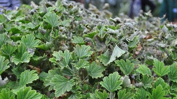 Pelargonie – ein Teil der Pflanze grünt noch, der andere ist vom Frost geschädigt worden und sieht welk aus