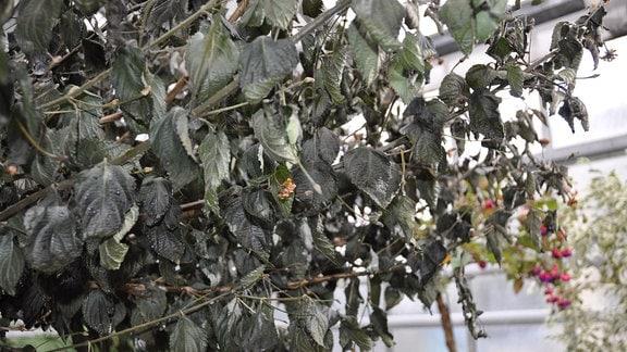 Wandelröschen mit Frostschäden