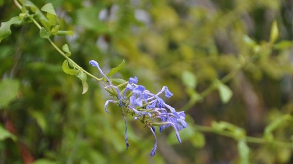 Blüte einer Tibouchina
