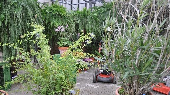 Tibouchina und Oleander im Kübel