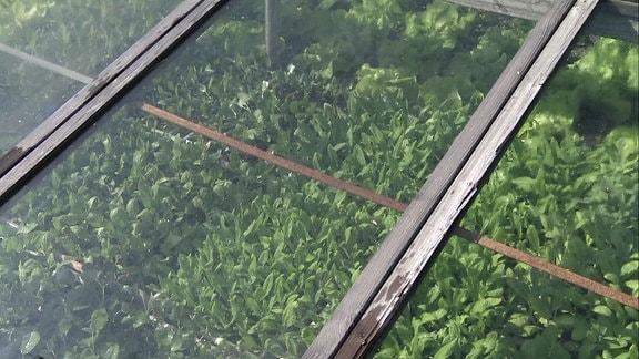 Frühbeet mit jungen Pflanzen
