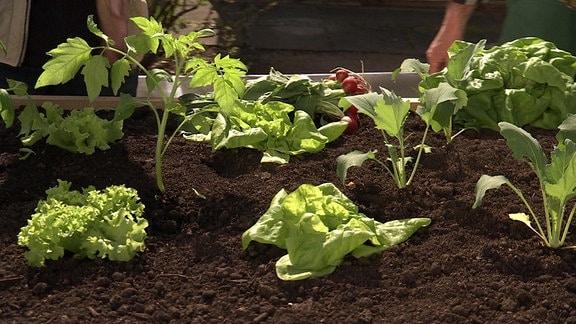 Salat auf einem Beet