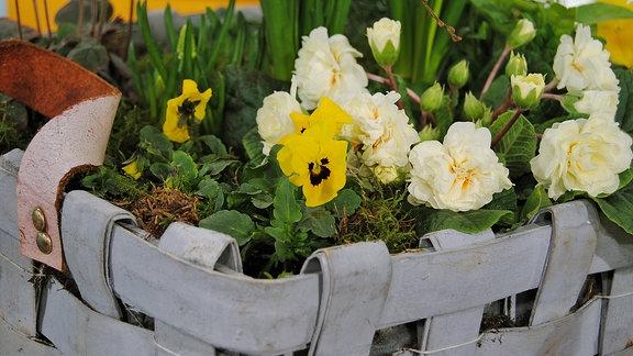 Ein aus breiten, grauen Holzstreifen geflochtener, viereckiger Korb mit gelb blühenden Stiefmütterchen, cremefarben blühenden Primeln mit gefüllten Blüten und anderen Frühblühern