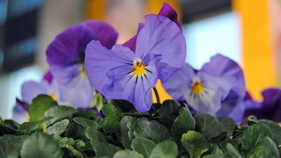 Fliederfarben und violett blühendes Hornveilchen der Sorte Cool Wave mit gelbem Auge in der Mitte der Blüte