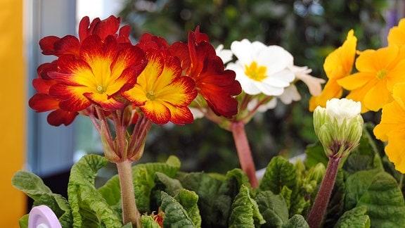 Rot-gelbe sowie weiße Blüten von Primeln auf hohen Stängeln