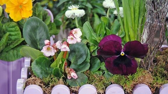 Eine hellrosa blühende Bergenie und ein Stiefmütterchen mit großer, dunkelvioletter Blüte in einem Pflanztopf mit Moos