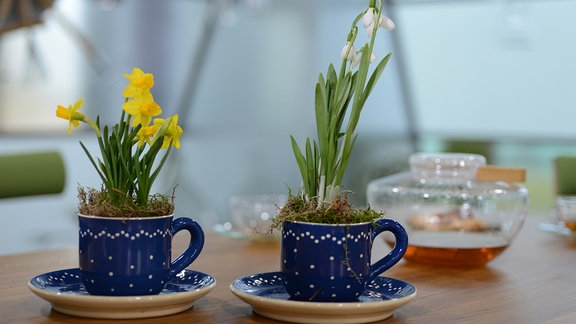 Schneeglöckchen und Narzisse wachsen in hübschen blauen Tassen mit weißen Punkten.