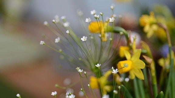 zarte weiße, doldenartige Blüten des Mannsschild