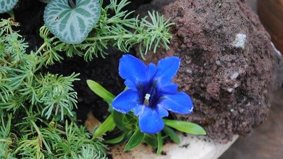 Eine kleine Blume mit blauer, kelchförmiger Blüte in einem Topf, in dem auch ein Stein liegt und weitere Pflanzen wachsen
