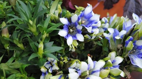 Niedrige Pflanze mit mehreren blau-weißen, kelchförmigen Blüten in einem Topf