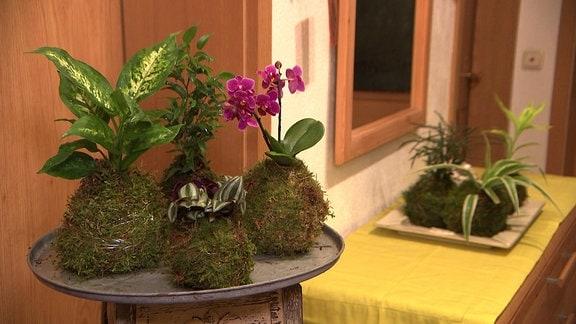 Mooskugeln mit verschiedenen Pflanzen