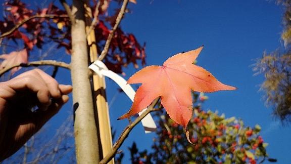Rotes Blatt eines Amberbaues