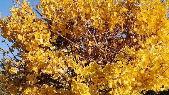 Ginko Baum mit gelb gefärbten Blättern.
