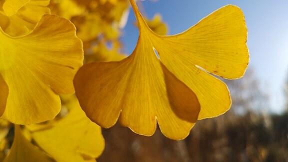 Gelbe Blätter des Ginkobaums
