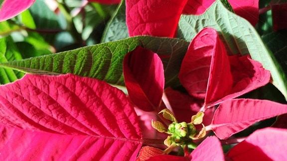 Schmuckblätter und Blüte eines Weihnahctssterns