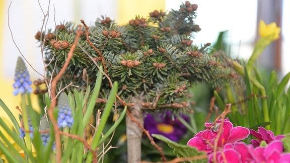 Zwergnordmanntanne mit Frühblüher