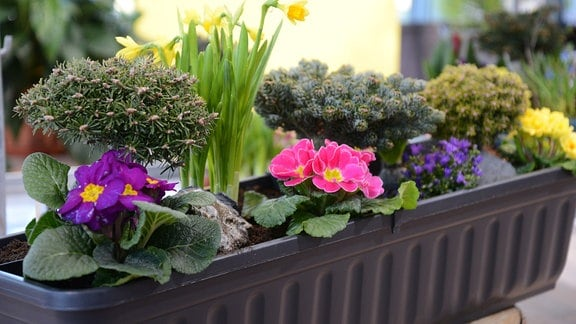 Ein Blumenkasten mit Zwergtanne und verschiedenen Frühblühern