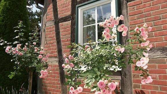Rosen vor einem Fachwerkhaus