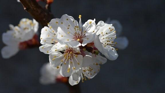 Blüte einer Aprikose.