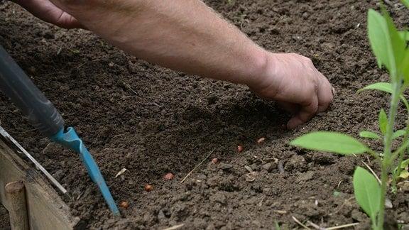 Eine Hand legt die Samen in die Pflanzrinne.