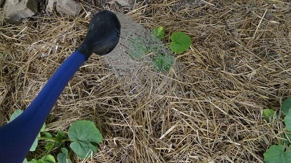 Stroh auf einem Beet wird gegossen.
