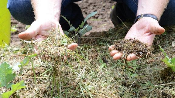 Zwei Hände zeigen trockenes und matschiges Gras.