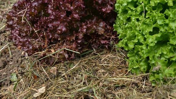 Rund um den Salat auf einem Beet wurde Grasschnitt ausgelegt.