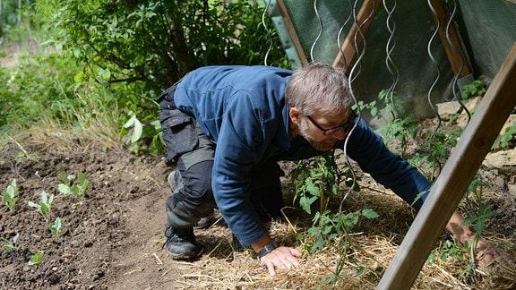 Jörg Heiß verteilt rund um die Tomatenpflanzen trockenes Gras.