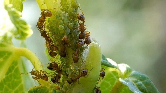 Ameisen bei der Läusezucht