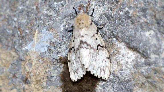 Ein Schwammspinner Falter sitzt an einer Mauer