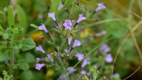 lila blühende, kleine Blüten der Bergminze