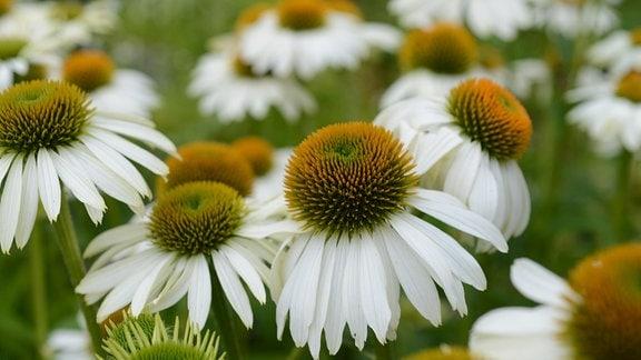 weiße Blüte der Echinacea
