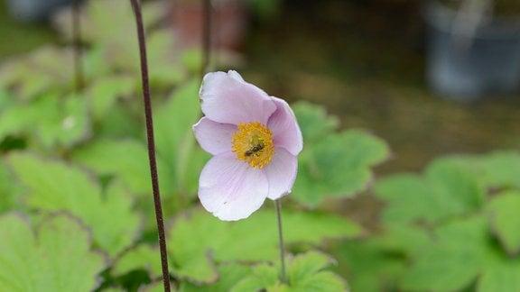 zarte, rosa Blüte einer Anemone