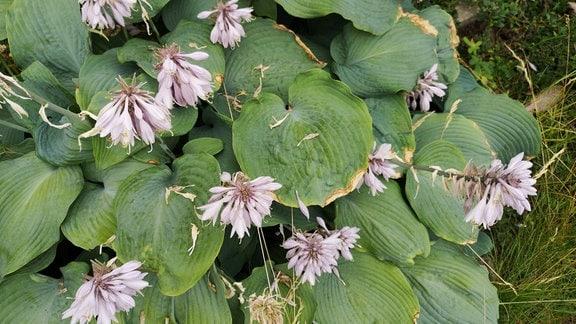 Blätter und Blüten einer Funkienpflanze