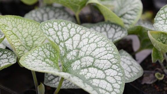Grün-weiß panaschierte Blätter des Kaukasus-Vergissmeinnicht