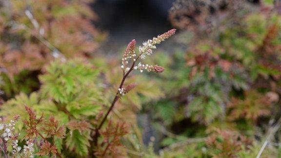 Blätter und zarte Blüte des Zwerg-Geißbarts