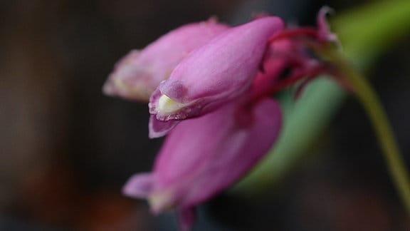 rosarote Blüte der Zwerg-Herzblume