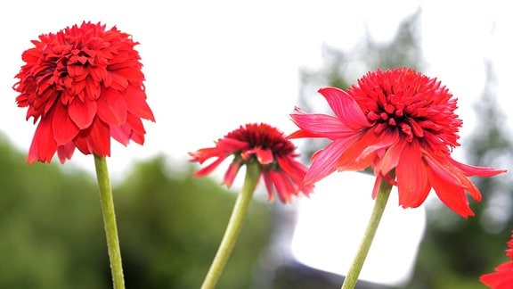 rote, gefüllte Echinacea-Blüte