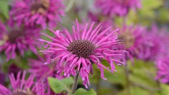 lila Blüte der Indianernessel
