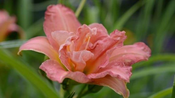 halbgefüllte Blüte der Taglilie