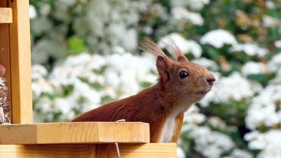 Eichhörnchen an einer Futterkiste