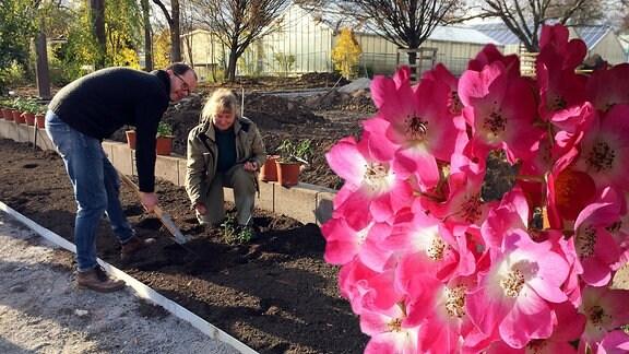 Gärtnerin Yvonne Uthardt und Rosenzüchter Volker Rönigk pflanzen Rose in ein Beet. Collage mit einer rosa Rose im Vordergrund.