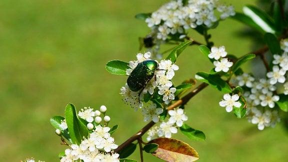 Ein Käfer sitzt auf den weißen Blüten des Feuerdorns
