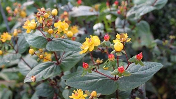 gelbe Blüten des Mannsblut