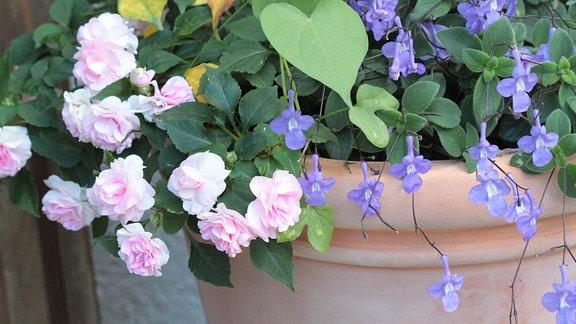 blühende Balkonpflanzen im Blumenkübel: rosablühendes Fleißiges Lieschen und blau blühender Blauer Paul