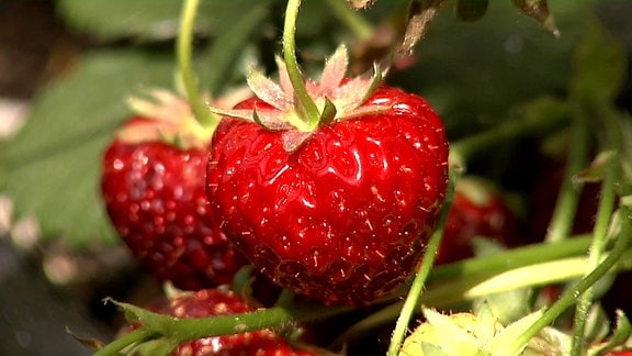 Klettererdbeeren